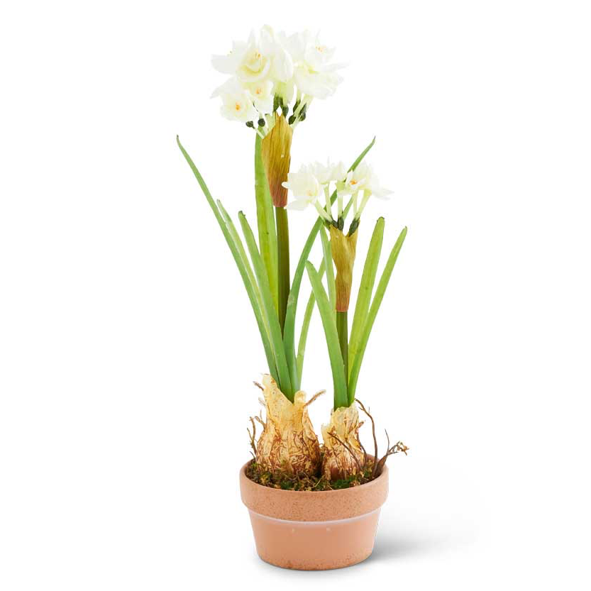 Potted Narcissus