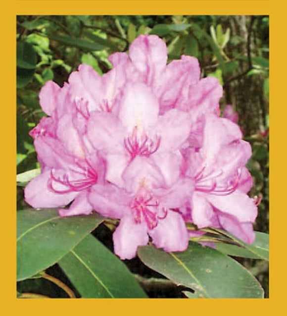 SKU : 00215 - Rhododendron - Magnetic Bookmark