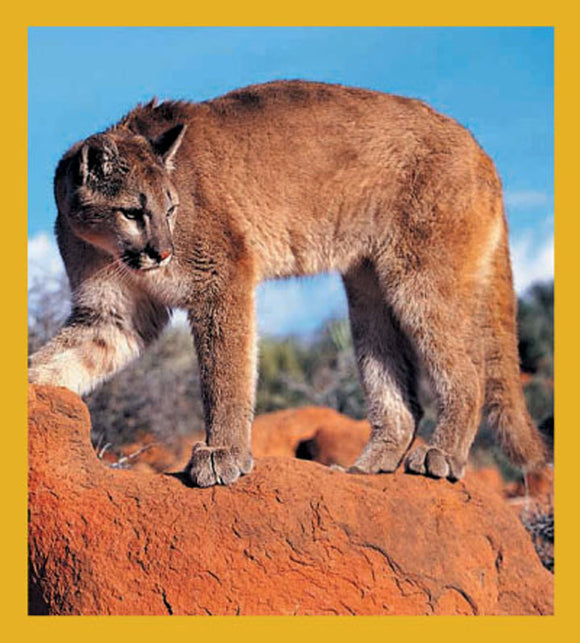 SKU : 01107 - Mountain Lion - Magnetic Bookmark