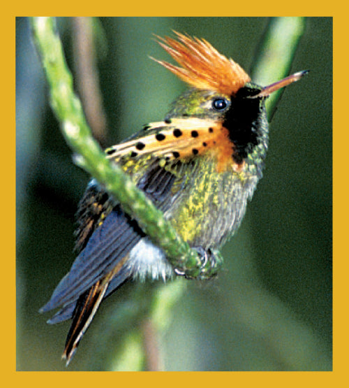 SKU : 01304 - Tufted Coquette Hummingbird - Magnetic Bookmark