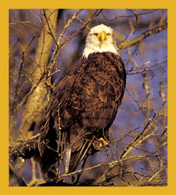 SKU : 06013 - Bald Eagle in Tree - Magnetic Bookmark
