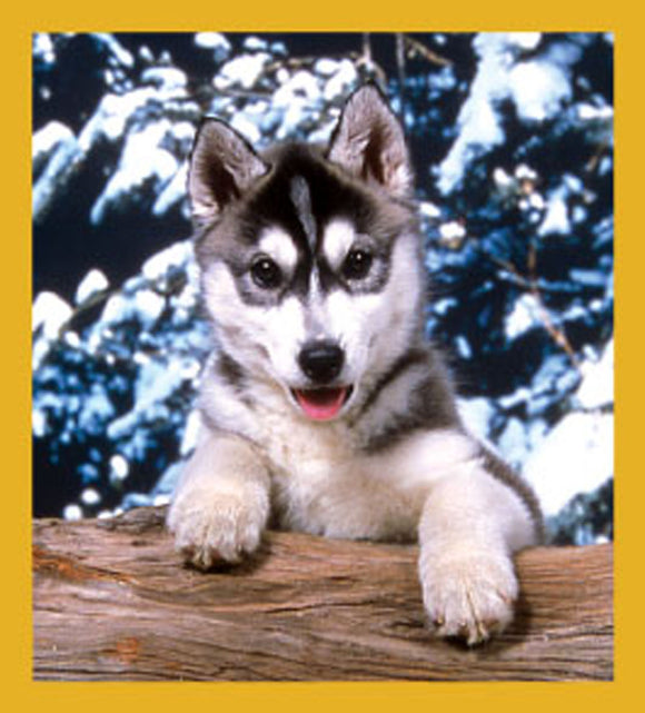 SKU : 06139 - Siberian Husky - Magnetic Bookmark