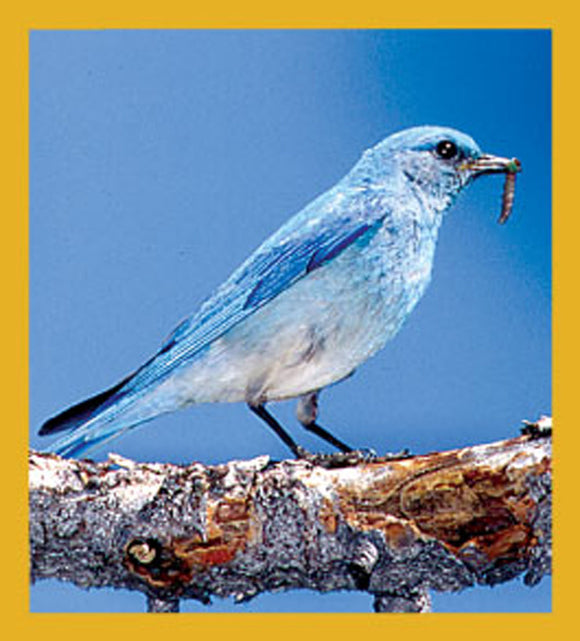 SKU : 06199 - Mountain Bluebird - Magnetic Bookmark