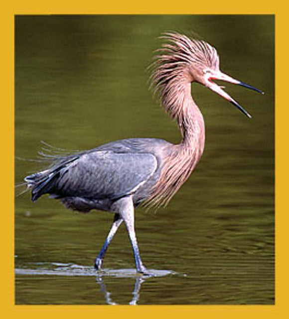 SKU : 06202 - Reddish Egret - Magnetic Bookmark