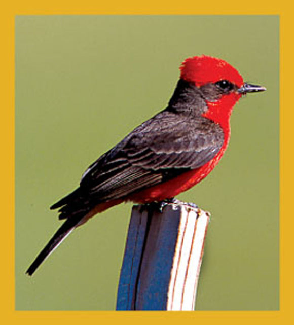 SKU : 06208 - Vermillion Flycatcher - Magnetic Bookmark