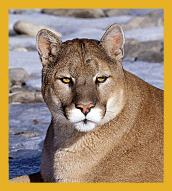 SKU : 06245 - Mountain Lion - Magnetic Bookmark