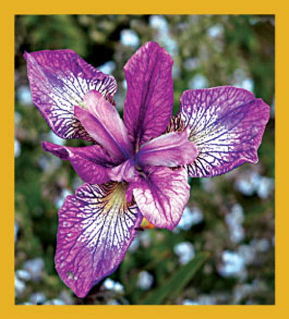 SKU : 06314 - Purple Iris - Magnetic Bookmark