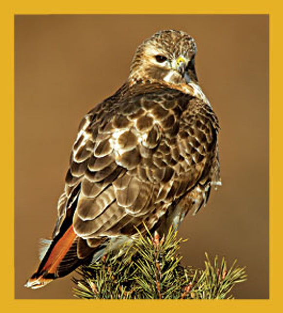 SKU : 06489 - Red-tailed Hawk - Magnetic Bookmark