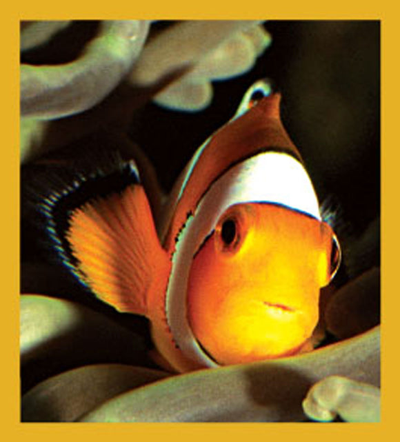 SKU : 06577 - Clownfish - Magnetic Bookmark