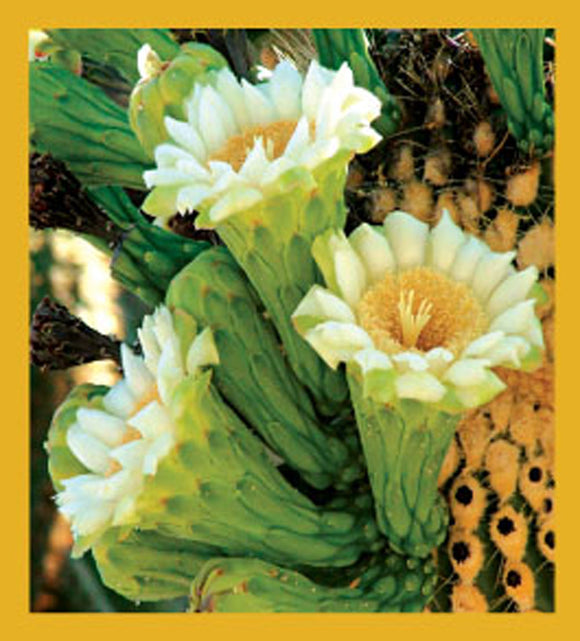 SKU : 06690 - Saguaro Cactus Flowers - Magnetic Bookmark