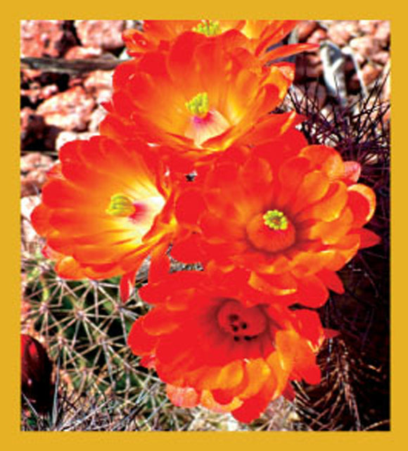 SKU : 06691 - Hedgehog Cactus Flowers - Magnetic Bookmark
