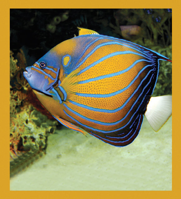 SKU : 06841 - Queen Angelfish - Magnetic Bookmark