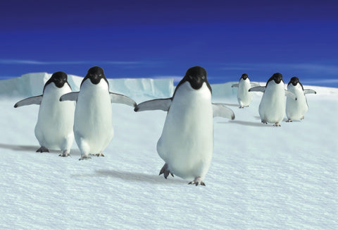 SKU : 20315 - Penguins - Motion Postcard