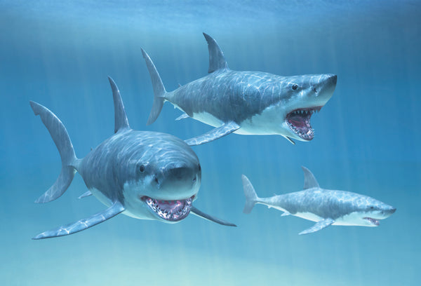 SKU : 20316 - Sharks - Motion Postcard