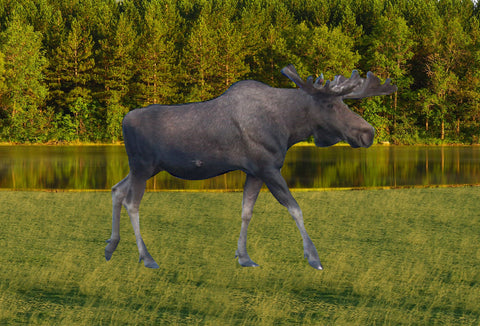 SKU : 20376 - Moose Walking - Motion Postcard