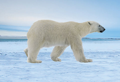 SKU : 20377 - Polar Bear - Motion Postcard