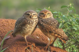SKU : 20399 - Burrowing Owls - Motion Postcard