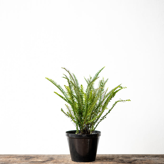 Boston Fern on Nursery Pot