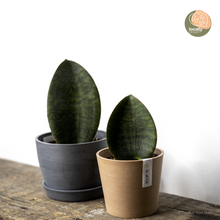 Load image into Gallery viewer, Whale Fin Sansevieria (S)