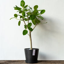 Load image into Gallery viewer, Ficus Audrey (2.5ft) on Ecopots Small