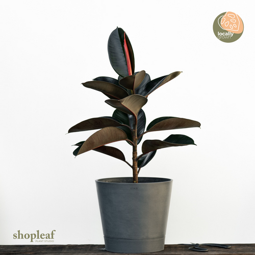 Burgundy Rubber Tree (M)