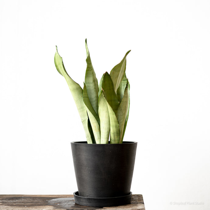 Sansevieria Moonshine on Ecopots Small