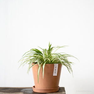 Spider Plant (M) on Ecopots Small