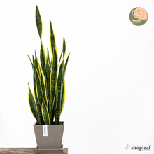 Load image into Gallery viewer, Yellow Snake Plant (L)