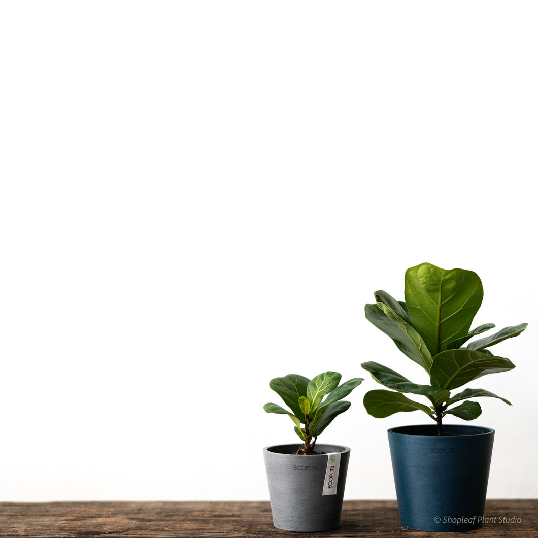 Fiddle Leaf Fig 'Bambino' (XS) on Ecopots Amsterdam Mini 10