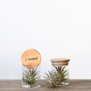 Air Plant in a Jar