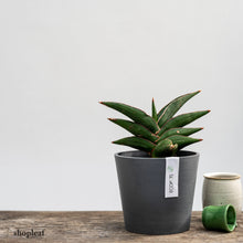 Load image into Gallery viewer, Sansevieria Samurai (S)