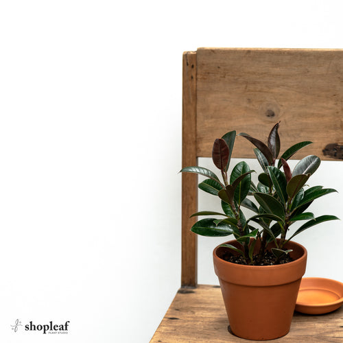 3in1 Ficus Melany (S)