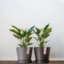 Load image into Gallery viewer, White Anthurium on Ecopots Small