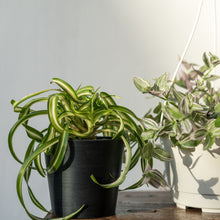 Load image into Gallery viewer, Spider Plant on Ecopots Mini