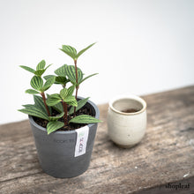 Load image into Gallery viewer, Peperomia puteolata (S) on Ecopots Amsterdam Mini 10