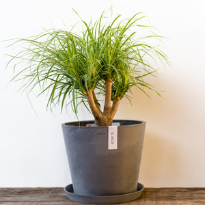 Ponytail Palm  on Ecopots™ Big