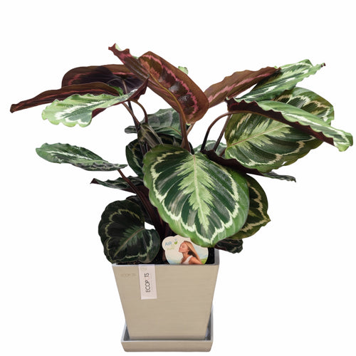 Calathea Medallion (XL)