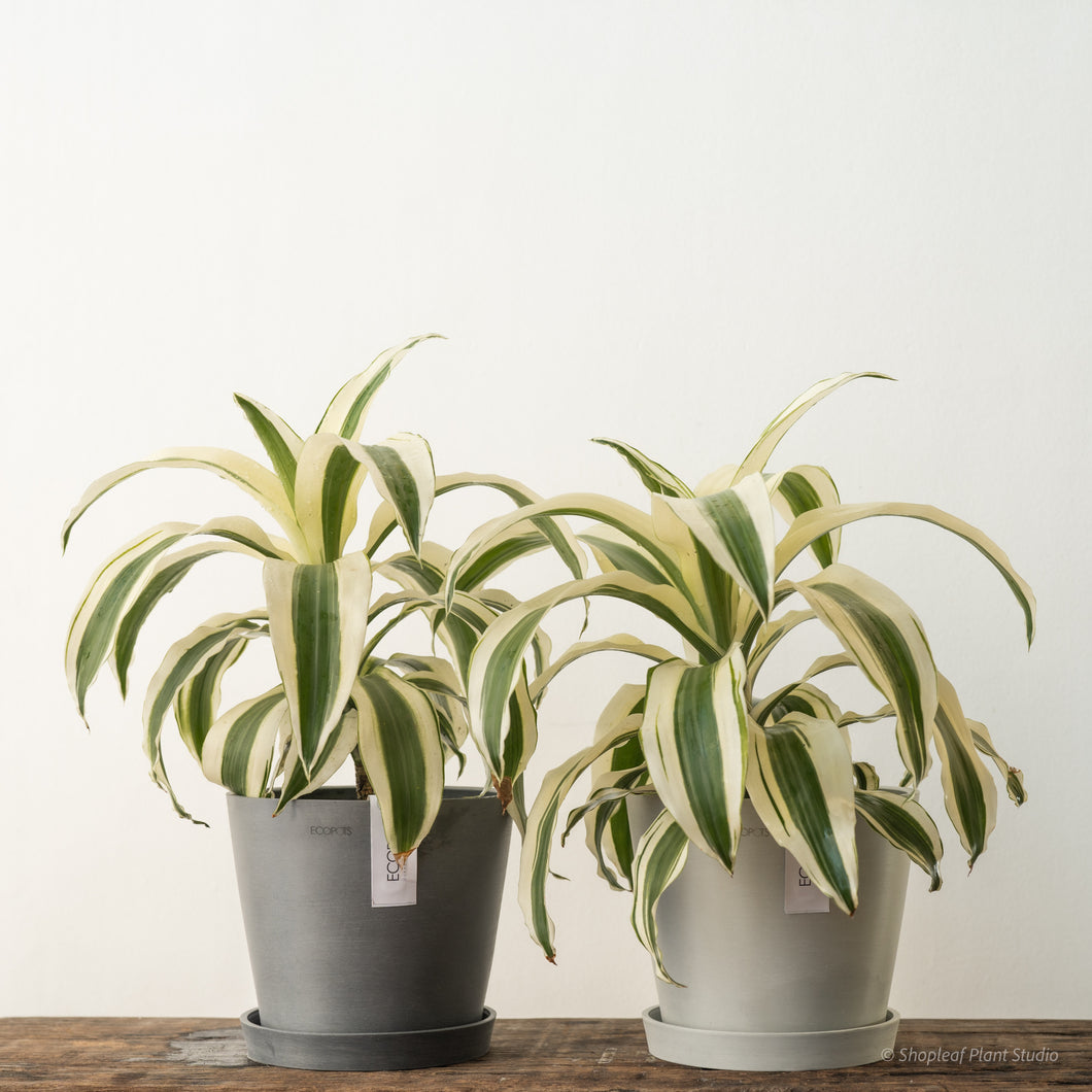 Dracaena White Aspen on Ecopots Small