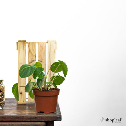 Pilea White Splash (S)