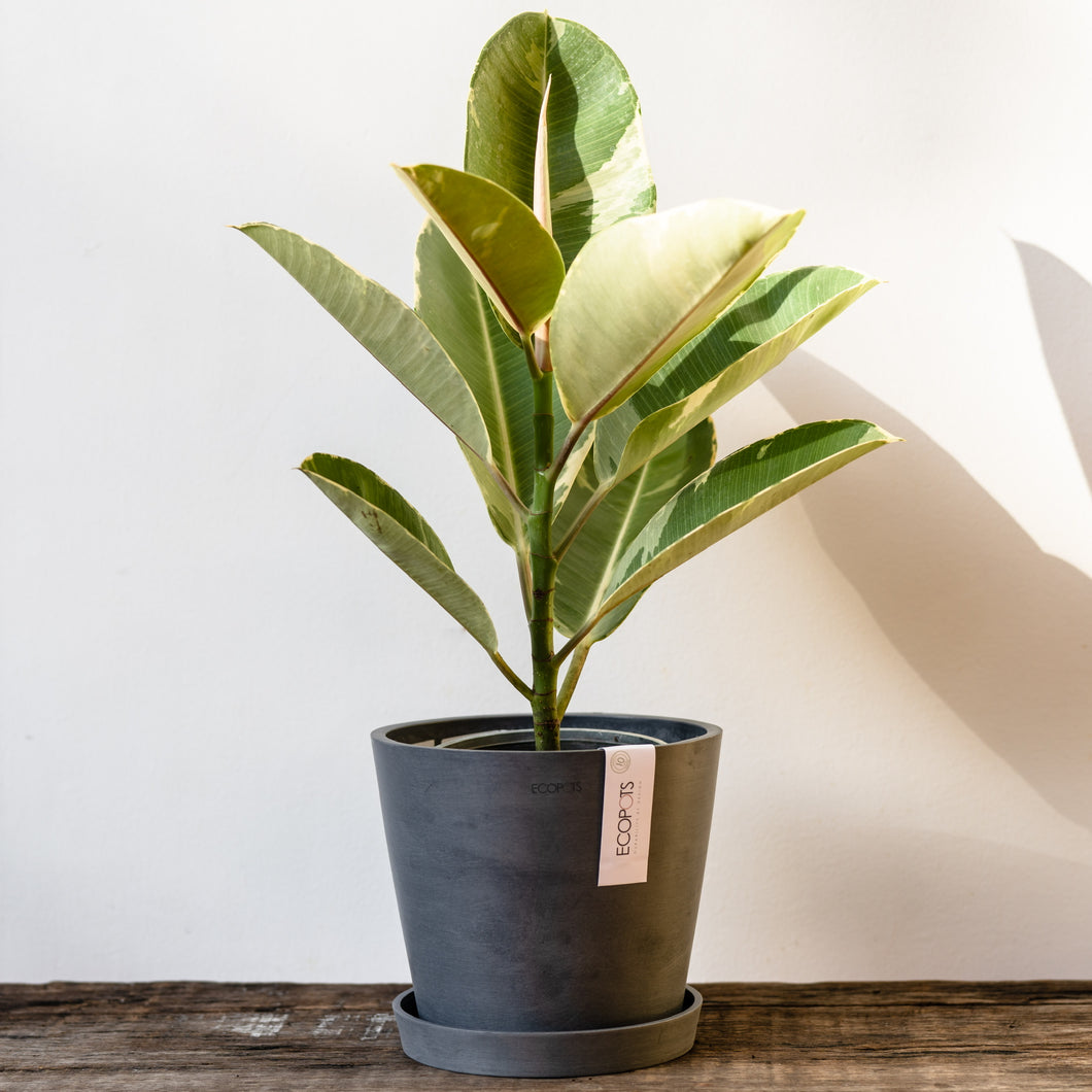 Variegated Rubber Tree on Ecopots Small