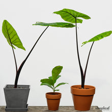 Load image into Gallery viewer, Alocasia Black Stem