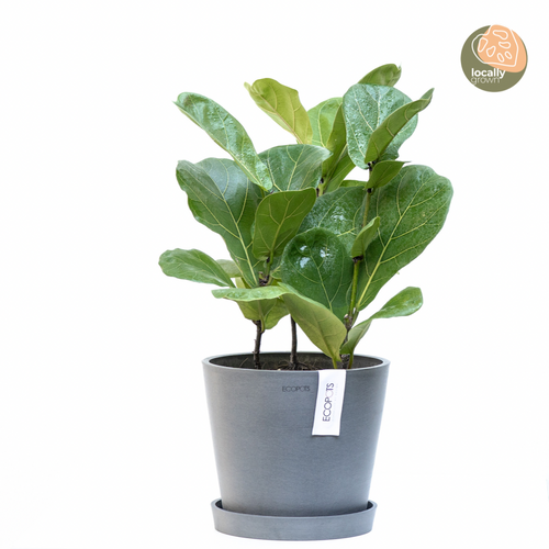3in1 Fiddle Leaf Fig Tree (S)