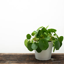 Load image into Gallery viewer, Pilea peperomioides (L)