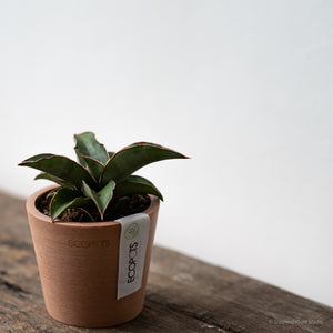 Sansevieria Bundle 1 on Ecopots Amsterdam Mini 8
