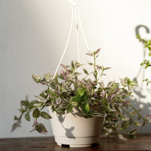 Load image into Gallery viewer, Wandering Jew on White Hanging Pot