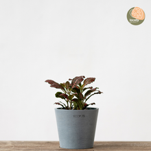 Load image into Gallery viewer, Fittonia Ruby Red (S)