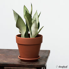 Load image into Gallery viewer, Sansevieria Moonshine (M)