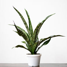Load image into Gallery viewer, Sansevieria trifasciata on Ecopots Amsterdam Mini 17
