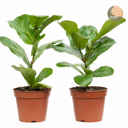 Fiddle Leaf Fig Tree (S)