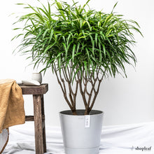 Load image into Gallery viewer, Dracaena Anita (M)